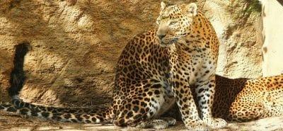 panther-of-sri-lanka-1008739