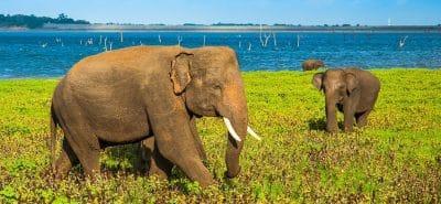 Elephants du Sri Lanka