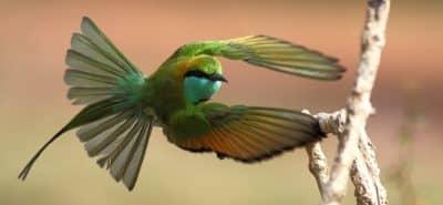 Green Bee-eater Yala National Park