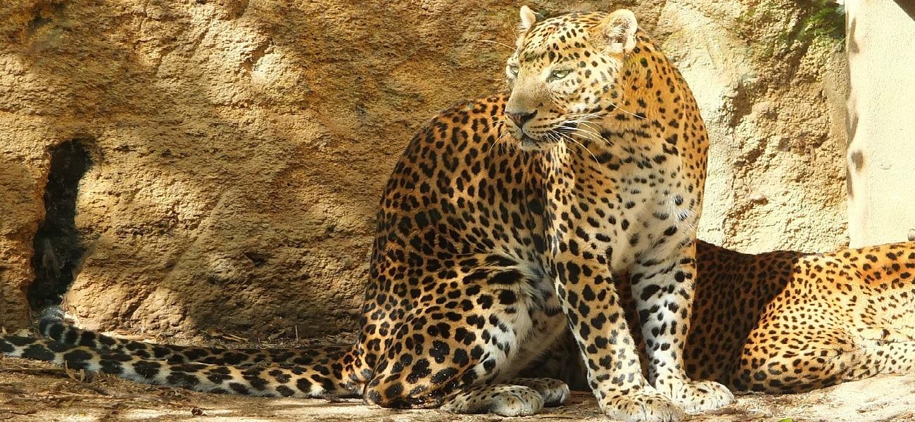 Léopard (panthère du sri lanka)