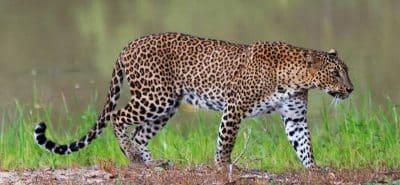 Leopard parc national sri lanka