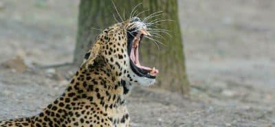 Leopard sri lanka