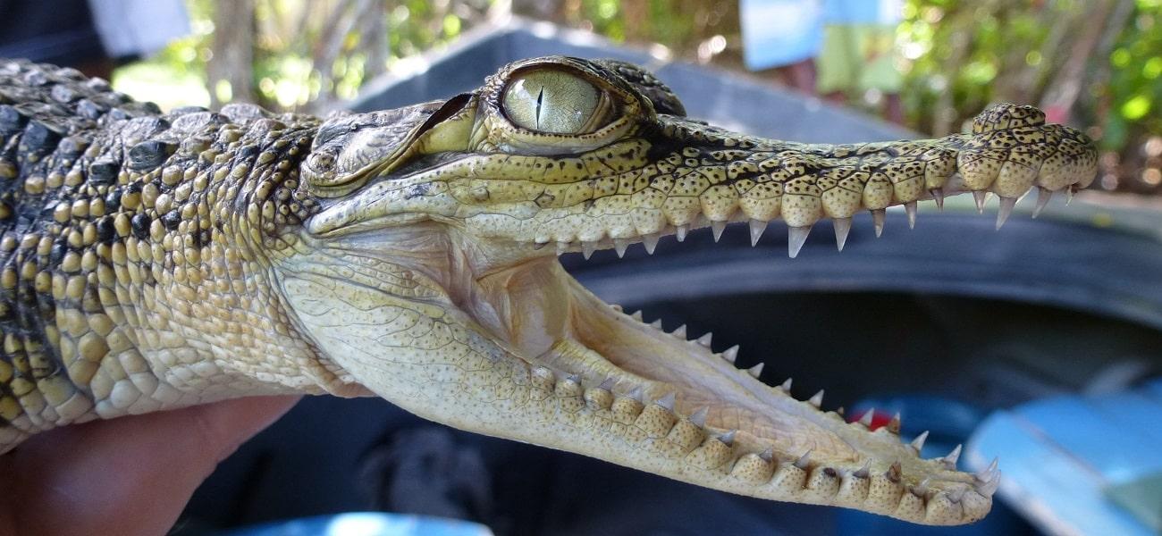 alligator-2419998