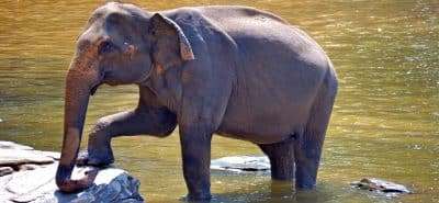 pegnent-elephant-266063
